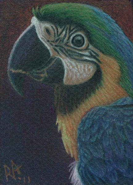Blue Parrot Drawing - Blue Macaw - My Version by R Alderman