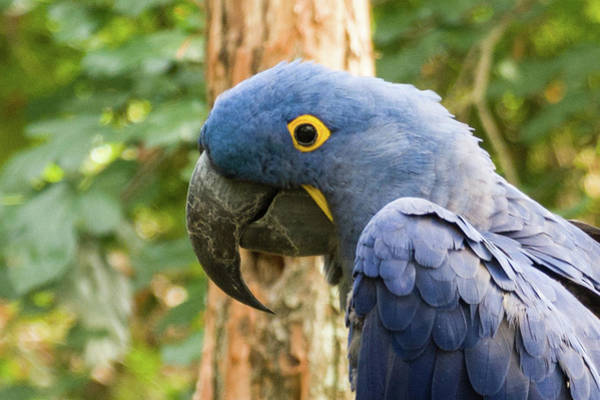 Photograph - Blue Macaw by John Benedict