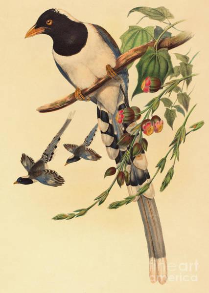 Wall Art - Painting - Blue Magpie, Urocissa Magnirostris by John Gould