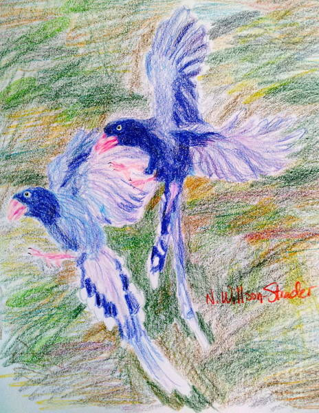 Magpies Drawing - Blue Magpies by N Willson-Strader