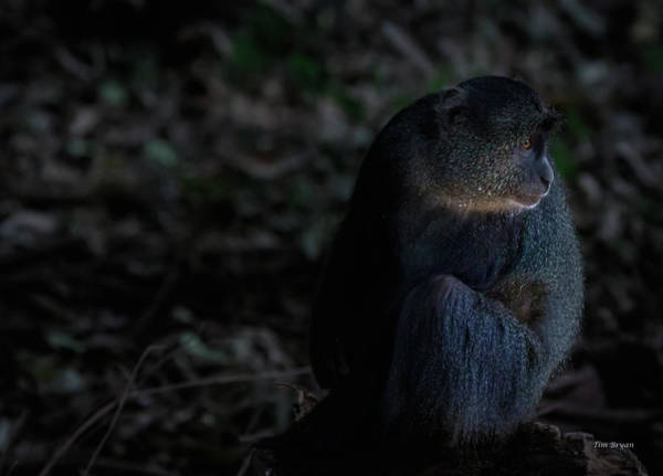 Photograph - Blue Monkey At Nightfall by Tim Bryan