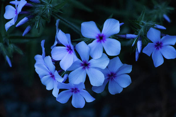 Photograph - Blue Moon Phlox by Cristina Stefan
