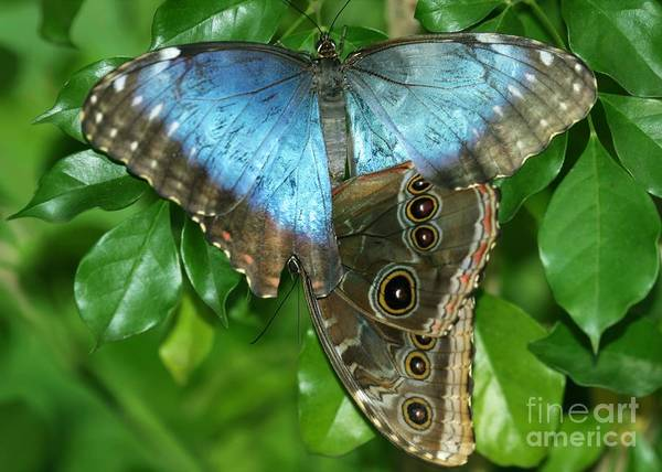 Photograph - Blue Morpho Butterflies by Sabrina L Ryan