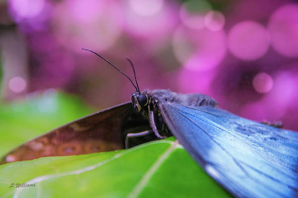 Photograph - Blue Morpho  Butterfly 2 by Pamela Williams