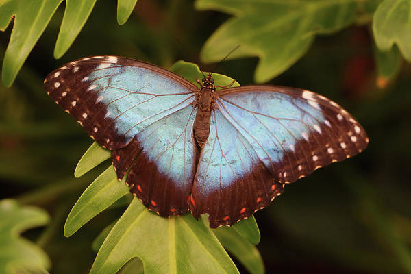 Photograph - Blue Morpho Butterfly From Above by Paul Cowan