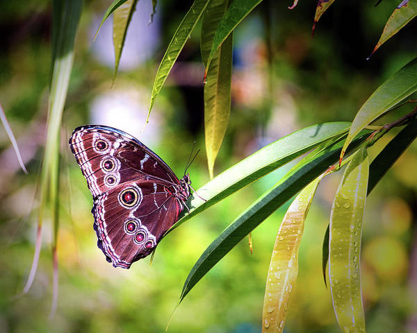 Photograph - Blue Morpho Butterfly In St. Thomas by Bill Swartwout Photography