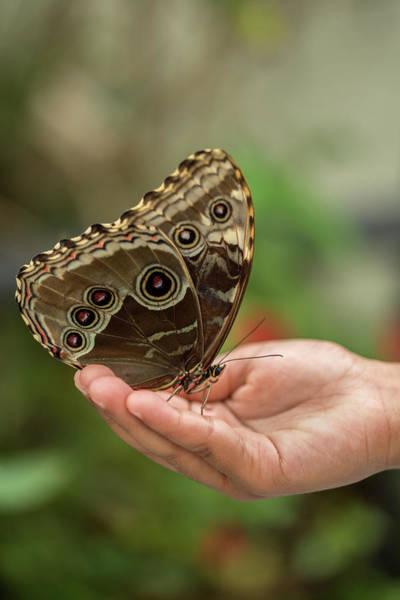 Wall Art - Photograph - Blue Morpho Butterfly On Hand by Iris Richardson