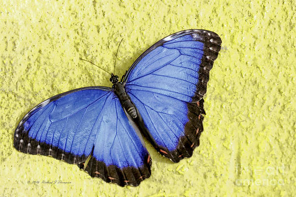 Photograph - Blue Morpho Butterfly by Richard J Thompson