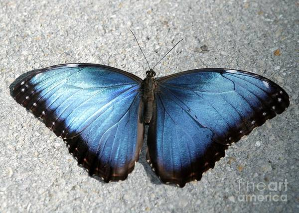 Photograph - Blue Morpho Butterfly by Sabrina L Ryan