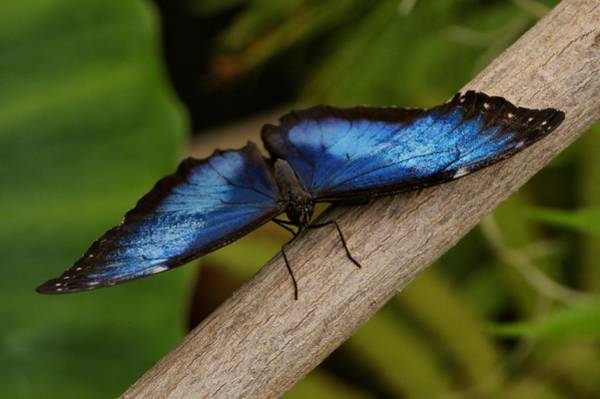 Photograph - Blue Morpho Butterfly by Sandy Keeton