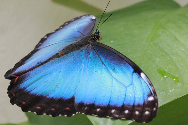 Photograph - Blue Morpho Butterfly With Opened Wings by Angela Murdock