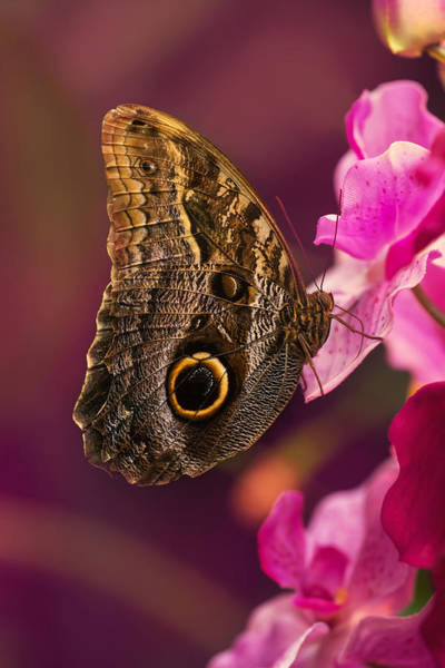 Photograph - Blue Morpho Butterly On Pink Flowers by Jaroslaw Blaminsky