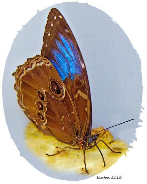 Belize Digital Art - Blue Morpho by Larry Linton