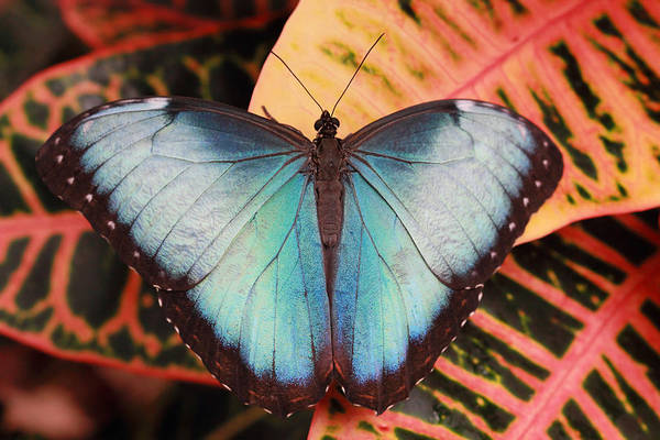Photograph - Blue Morpho On Orange Leaf by Angela Murdock