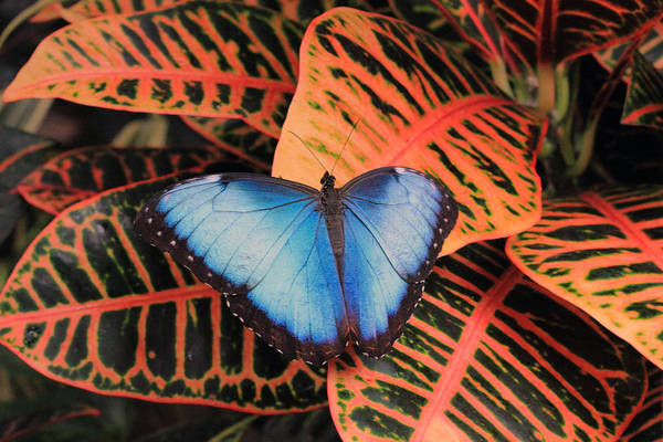 Photograph - Blue Morpho On Orange Leaves by Angela Murdock