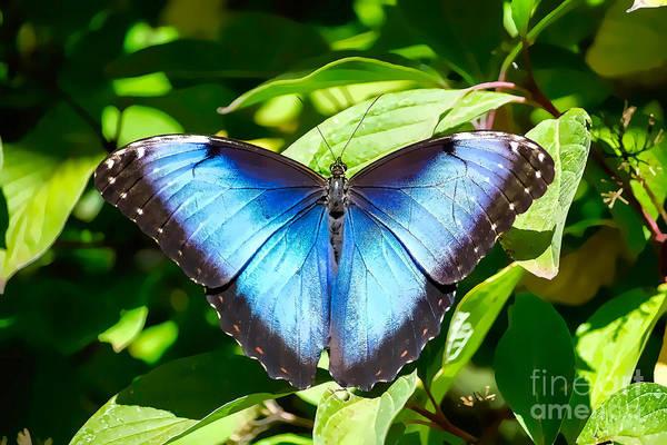 Photograph - Blue Morpho by Susan Warren