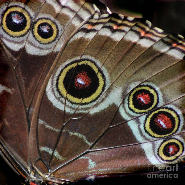Photograph - Blue Morpho Wing Square by Karen Adams