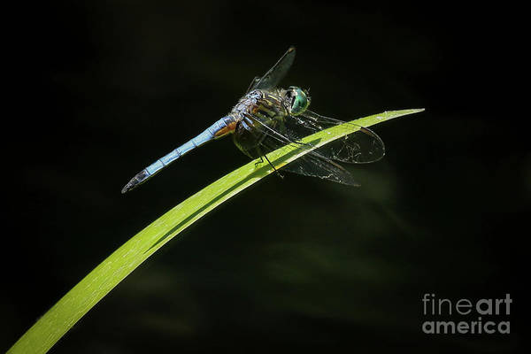Dasher Photograph - Blue Mosquitohawk by Sabrina L Ryan
