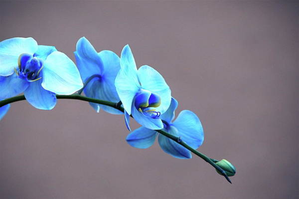 Photograph - Blue Mystique Orchid Array by Byron Varvarigos