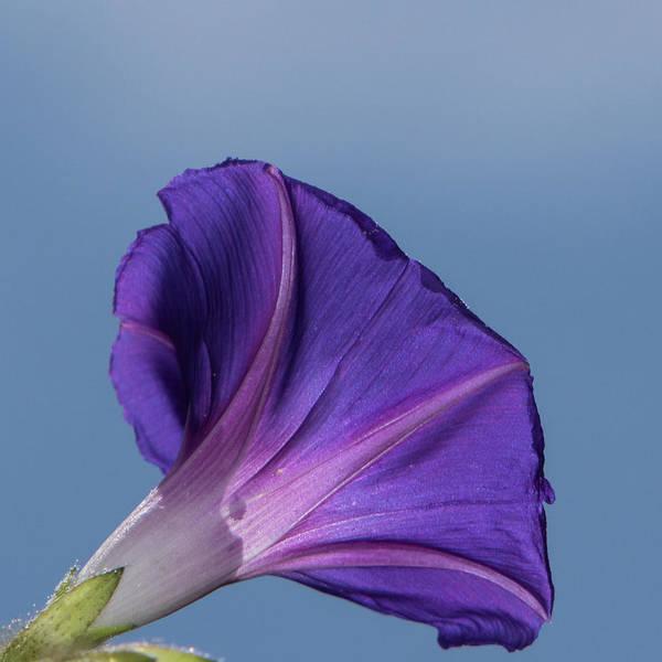 Convolvulaceae Wall Art - Photograph - Blue On Blue by Jurgen Lorenzen
