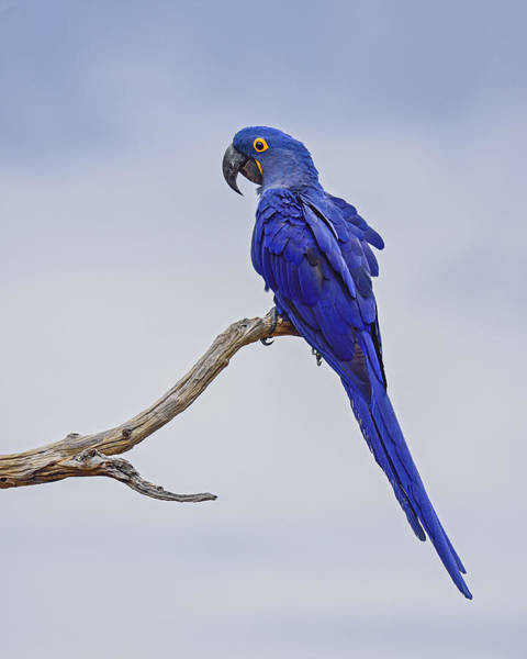 Hyacinth Macaw Photograph - Blue On Blue by Tony Beck