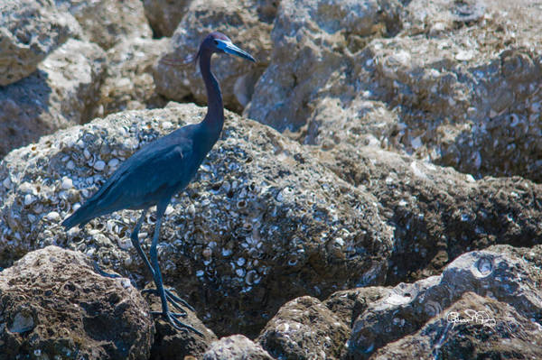 Photograph - Blue On The Rocks by Susan Molnar
