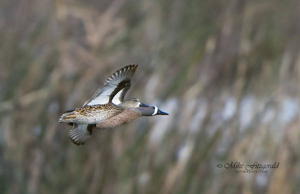 Photograph - Blue On The Wing by Mike Fitzgerald