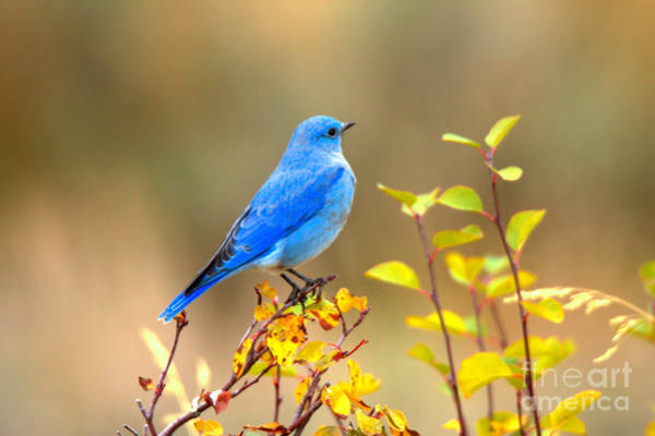 Photograph - Blue On Yellow by Adam Jewell