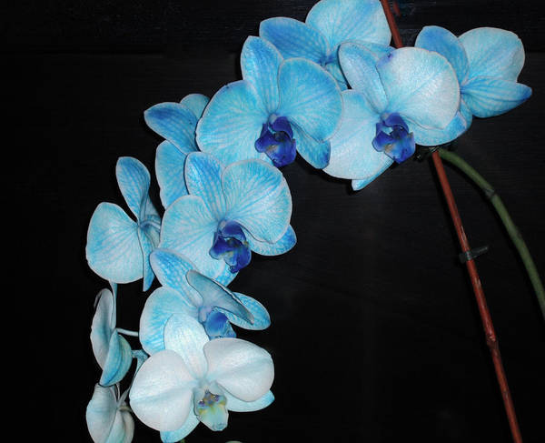 Wall Art - Photograph - Blue Orchid by Candace Shockley