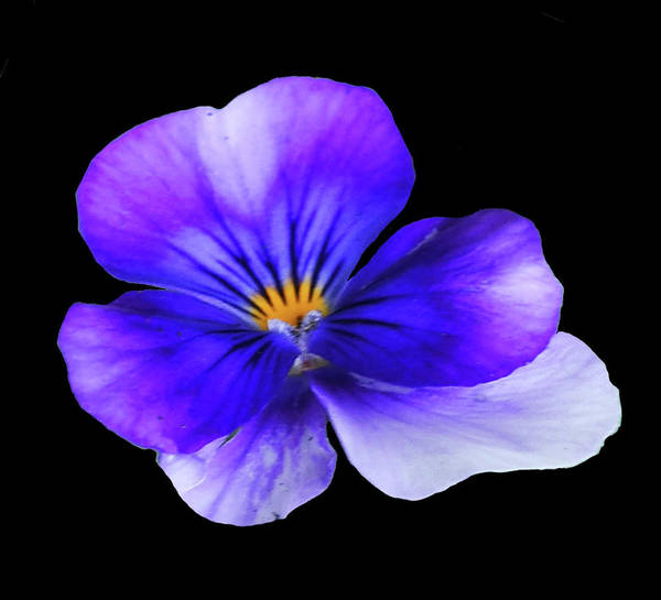 Photograph - Blue Pansy In Black by Sally Sperry