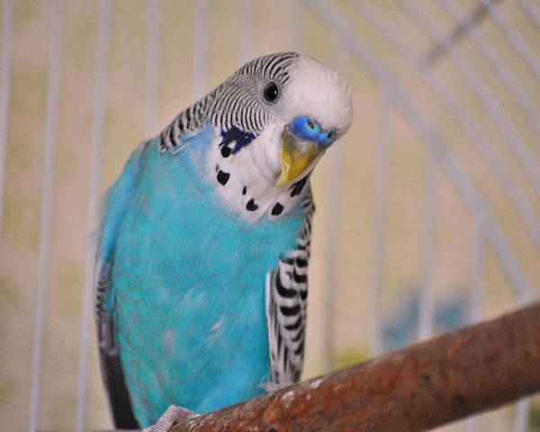 Parakeets Photograph - Blue Parakeet by Jai Johnson