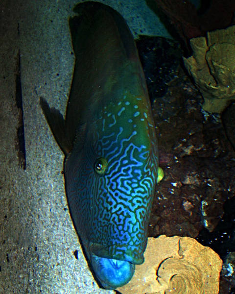 Photograph - Blue Parrot Fish by Anthony Jones