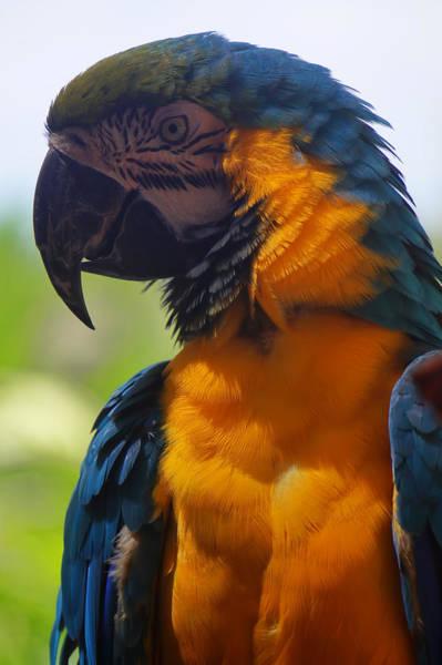 Blue Parrot Art Print