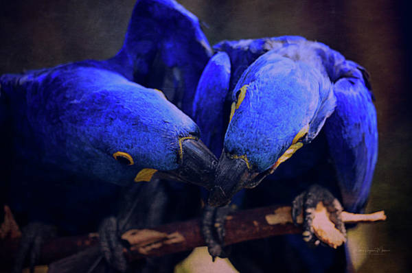 Hyacinth Macaw Photograph - Blue Parrots by Maria Angelica Maira