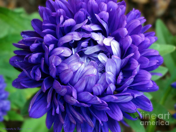 Photograph - Blue Petals by Gena Weiser