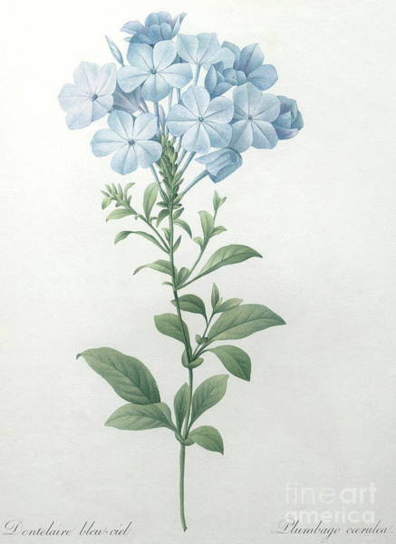 Wall Art - Painting - Blue Plumbago Or Leadwart by Pierre Joseph Redoute