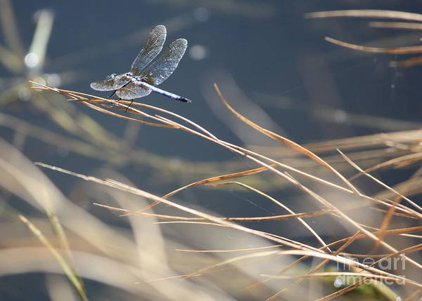Blue Dragonfly Photograph - Blue Pond by Carol Groenen