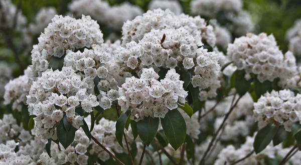 Kalmia Photograph - Blue Ridge Mountain Laurel by Teresa Mucha