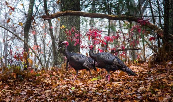 Wall Art - Photograph - Blue Ridge Turkey Trot by Karen Wiles