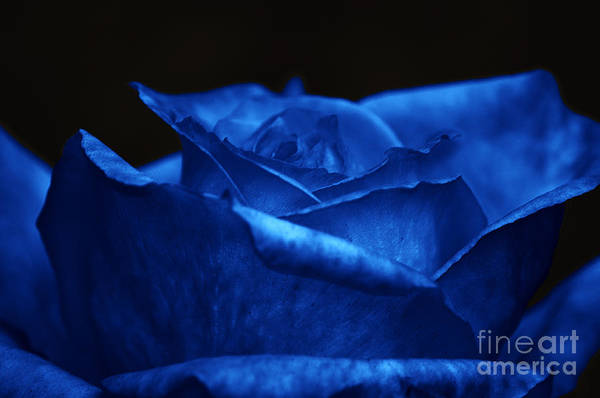 Photograph - Blue Rose by Clayton Bruster