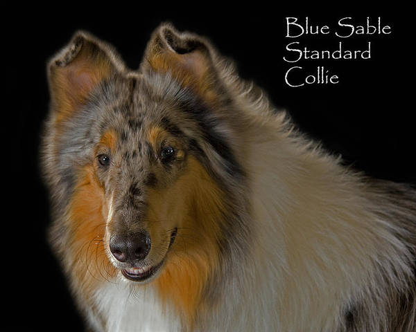 Photograph - Blue Sable Standard Collie by Larry Linton