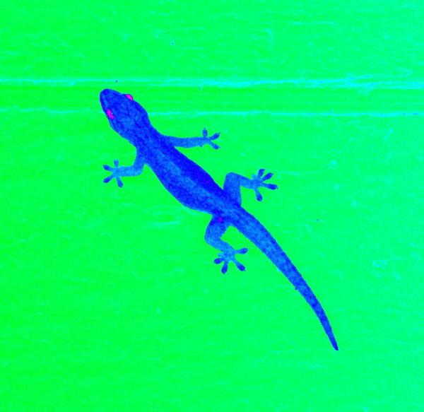 Photograph - Blue Gecko On A Green Wall by Karen J Shine