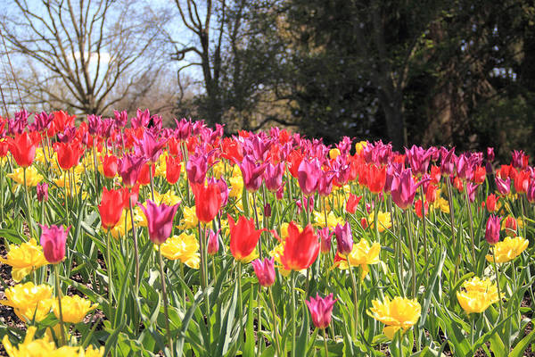 Photograph - Blue Skies And Tulips by Angela Murdock