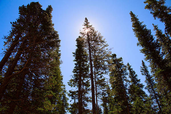 Roosevelt National Forest Photograph - Blue Sky And Forest Pine Trees by James BO Insogna