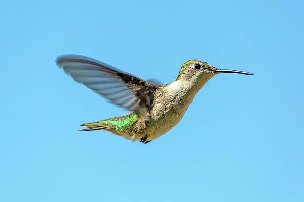 Hummingbird Wings Photograph - Blue Sky Hummingbird by Betsy Knapp