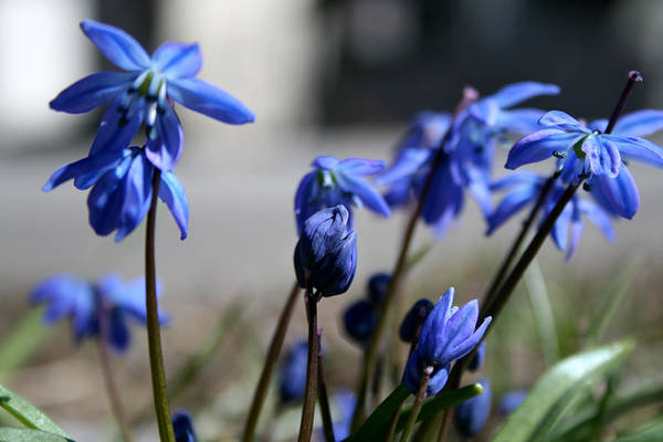 Photograph - Blue Spring Flowers by Laura Kinker