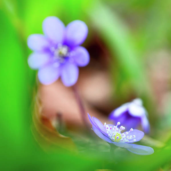 Liverwort Photograph - Blue Spring Wild Flower, Hepatica Nobilis by Dirk Ercken