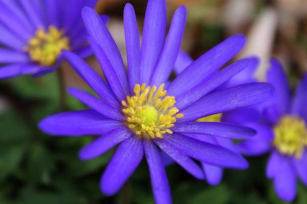 Photograph - Blue Stars And Yellow Pollen by Scott Hovind
