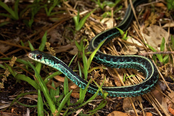 Wall Art - Photograph - Blue-striped Garter Snake by Rich Leighton