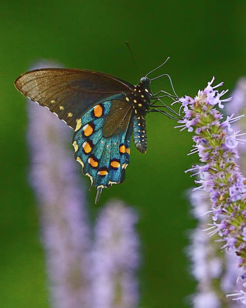 Photograph - Blue Swallowtail by William Jobes